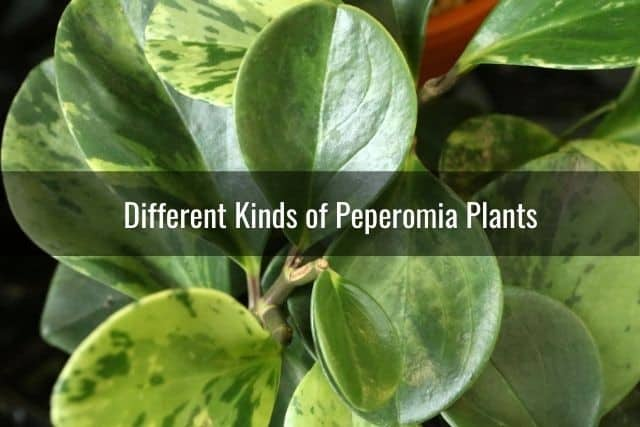 Different Kinds of Peperomia Plants