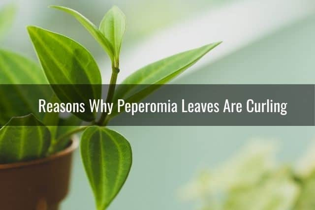 Reasons Why Peperomia Leaves Are Curling