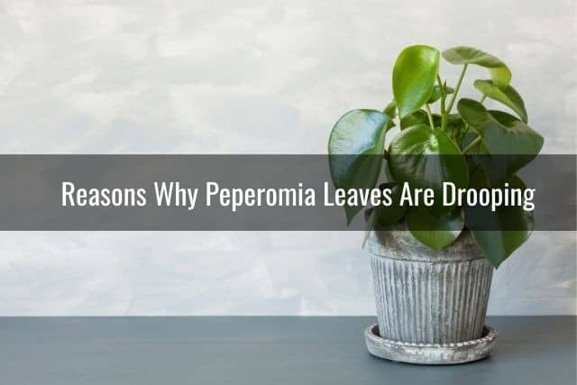 Reasons Why Peperomia Leaves Are Drooping