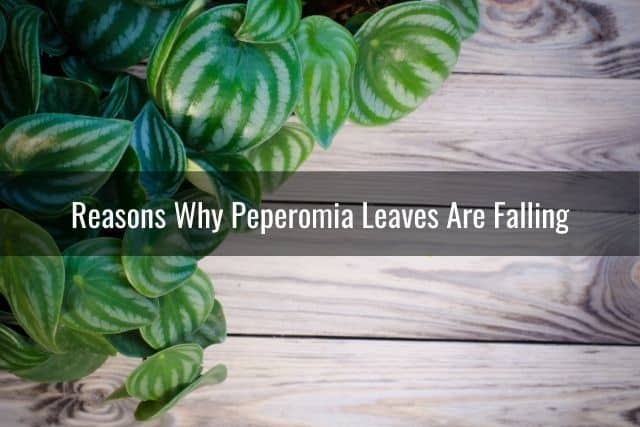 Reasons Why Peperomia Leaves Are Falling