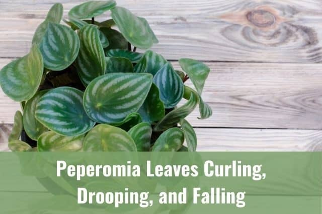 Peperomia Leaves Curling, Drooping, and Falling