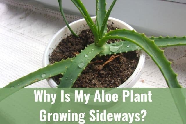 Why Is My Aloe Plant Growing Sideways?